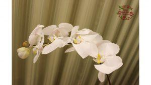 宝塚トップスターからプレゼントされた感動の胡蝶蘭を永遠の思い出に|持ち込み時